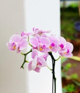 orchids-272050_640